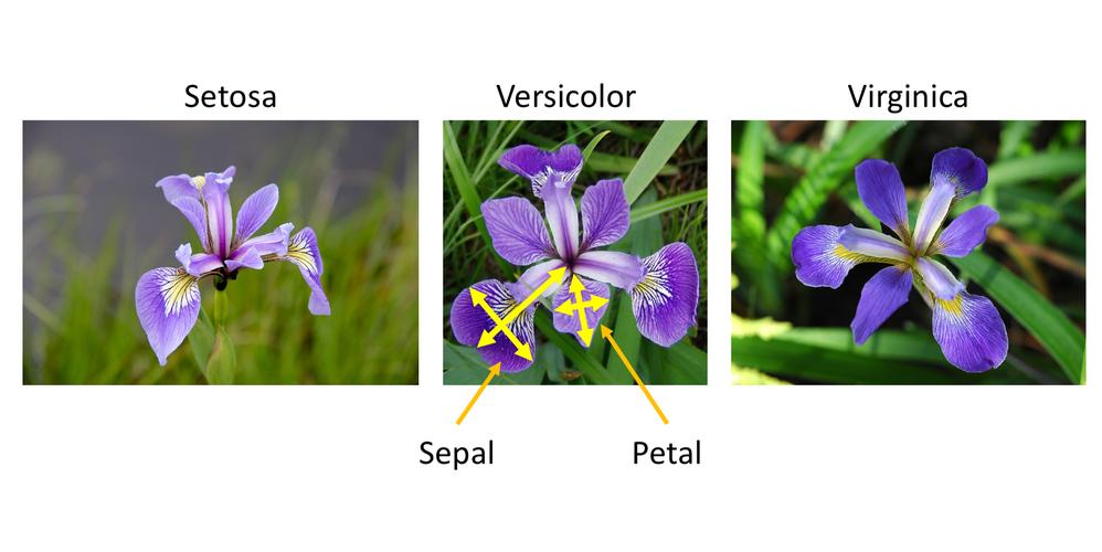 the three species of Irises in the dataset